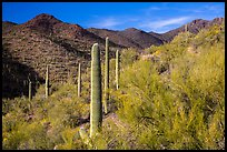Palo Verde and slopes covered with cactus, Tucson Mountains. Saguaro National Park ( color)