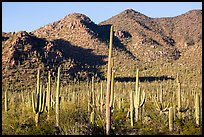 Dense saguaro forest and Red Hills. Saguaro National Park ( color)