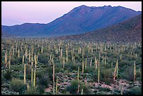 Bajada with cactus forest and Tucson Mountains at dusk. Saguaro National Park ( color)