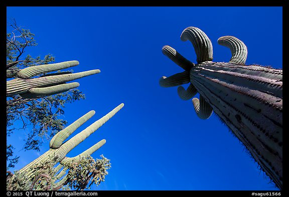 Looking up multi-armed saguaro cacti. Saguaro National Park (color)