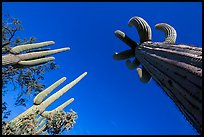 Looking up multi-armed saguaro cacti. Saguaro National Park ( color)