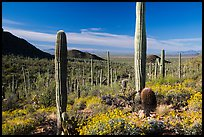 Springtime in the Sonoran Desert. Saguaro National Park ( color)