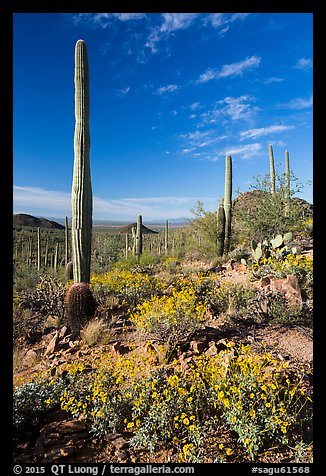 Sonoran Desert in bloom. Saguaro National Park (color)