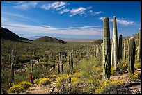 Visitor looking, Valley View trail. Saguaro National Park ( color)