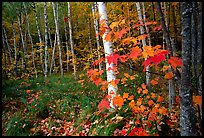 Autumn forest scene with white birch and red maples. Acadia National Park, Maine, USA.