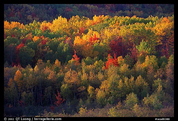 Distant mosaic of trees in autumn foliage. Acadia National Park, Maine, USA.
