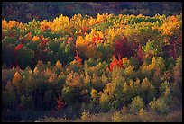 Distant mosaic of trees in autumn foliage. Acadia National Park, Maine, USA. (color)