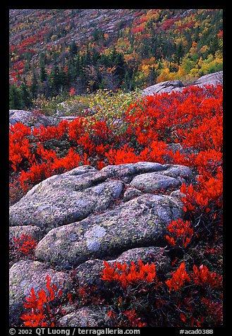 Bright red shrubs and granite slabs on Cadillac mountain. Acadia National Park, Maine, USA.