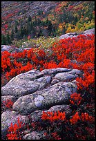 Bright red shrubs and granite slabs on Cadillac mountain. Acadia National Park ( color)