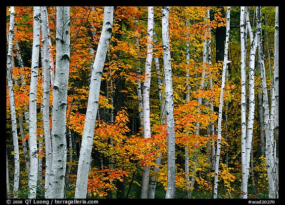 White birch trunks and orange leaves of red maples. Acadia National Park, Maine, USA.