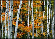 White birch trunks and orange leaves of red maples. Acadia National Park, Maine, USA. (color)