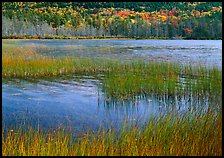 Reeds in pond with trees in fall foliage in the distance. Acadia National Park, Maine, USA. (color)
