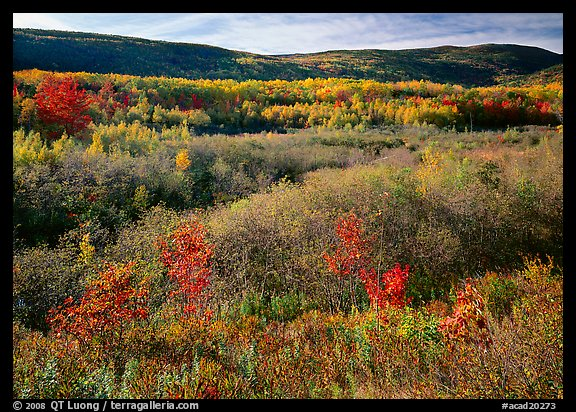 Shrubs, and hills with trees in autumn colors. Acadia National Park (color)