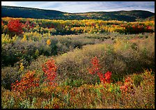 Shrubs, and hills with trees in autumn colors. Acadia National Park, Maine, USA. (color)