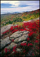 Berry plants in bright fall color, rock slabs, forest on hillside, and coast. Acadia National Park, Maine, USA.