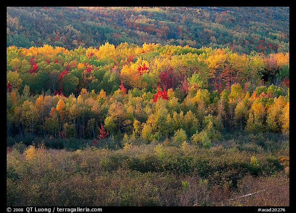 Mosaic of autumn color trees on hillside. Acadia National Park (color)