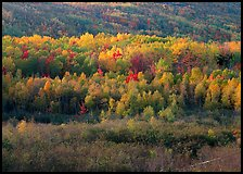 Mosaic of autumn color trees on hillside. Acadia National Park, Maine, USA.