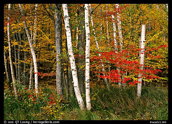 White birch trees, orange and red maple trees in autumn. Acadia National Park (color)