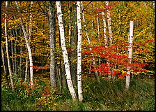 White birch and maples in autumn. Acadia National Park, Maine, USA. (color)