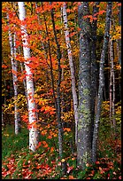 Bouquet of trees in fall colors. Acadia National Park, Maine, USA. (color)