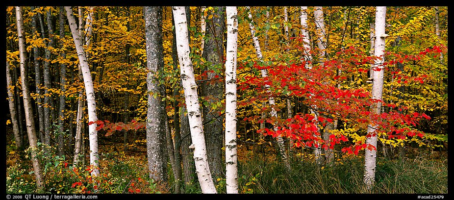 Forest scene in the fall with birch and maples. Acadia National Park (color)