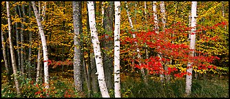 Forest scene in the fall with birch and maples. Acadia National Park (Panoramic color)