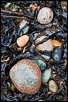 Pebbles and seaweeds. Acadia National Park, Maine, USA.