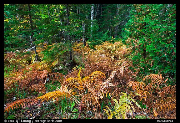 Forest undergrowth in autumn. Acadia National Park, Maine, USA.