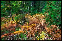 Forest undergrowth in autumn. Acadia National Park ( color)