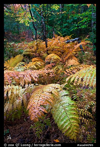 Moving ferns in autumn colors. Acadia National Park, Maine, USA.
