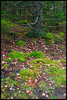 Moss, leaves, and tree. Acadia National Park, Maine, USA. (color)