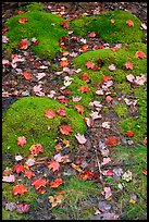 Fallen leaves on green moss. Acadia National Park, Maine, USA.
