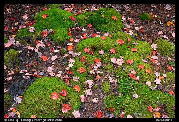 Green moss with red maple leaves. Acadia National Park (color)