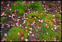 Green moss with red maple leaves. Acadia National Park, Maine, USA.