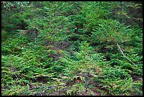 Young pine trees. Acadia National Park ( color)