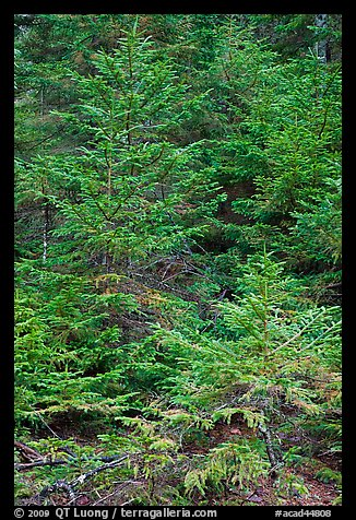 Pine saplings. Acadia National Park (color)