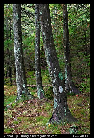 Trees and moss. Acadia National Park (color)