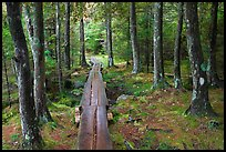 Boardwalk in wet forest environment. Acadia National Park, Maine, USA.