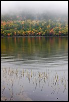 Reeds and hillside in fall foliage on foggy day. Acadia National Park, Maine, USA.