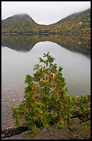 Sapling growing out of branch and hills, Jordan Pond. Acadia National Park ( color)