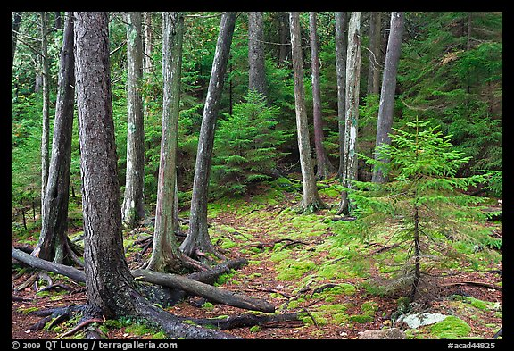 Pine saplings and tree trunks. Acadia National Park (color)