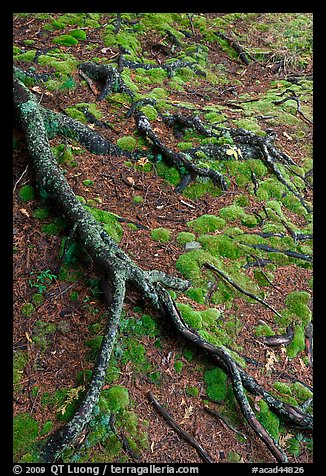 Roots and moss. Acadia National Park (color)
