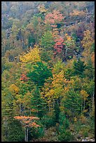 Trees in autumn colors on hillside. Acadia National Park ( color)