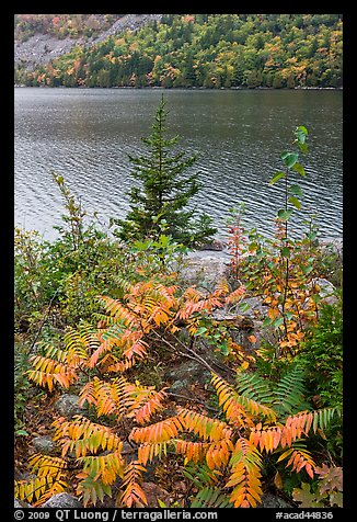 Ferns in autumn color, pine tree, and Jordan Pond. Acadia National Park (color)