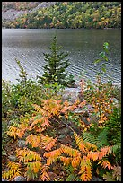 Ferns in autumn color, pine tree, and Jordan Pond. Acadia National Park, Maine, USA.