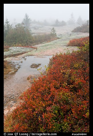 Berry plants in autumn foliage on Mount Cadillac during heavy fog. Acadia National Park, Maine, USA.