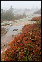 Berry plants in autumn foliage on Mount Cadillac during heavy fog. Acadia National Park, Maine, USA. (color)