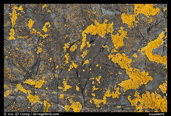 Close-up of orange lichen on dark rock, Schoodic Peninsula. Acadia National Park, Maine, USA.