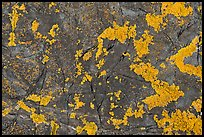 Close-up of orange lichen on dark rock, Schoodic Peninsula. Acadia National Park ( color)