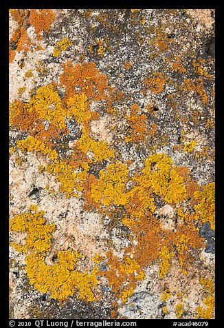 Lichens close-up, Schoodic Peninsula. Acadia National Park (color)